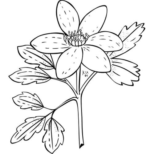 Anemone Flower Line Drawing : Kolorowanka laurka na dzień matki do